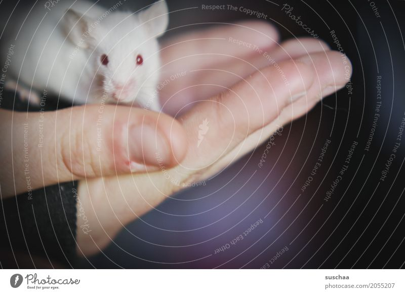 mouse and hand Hand Fingers stop Mouse Eyes Red Eyes Albino Ear Rodent Mammal White Pet Tails Neutral Background Protection Fragile timidly Diminutive Cute