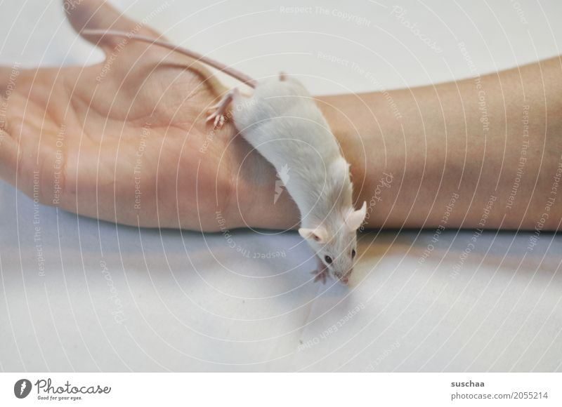 mouse and hand Hand Fingers Pet Mouse Disgust Cute White Protection Fear stop Rodent Mammal Tails Fragile timidly Diminutive Sweet Neutral Background