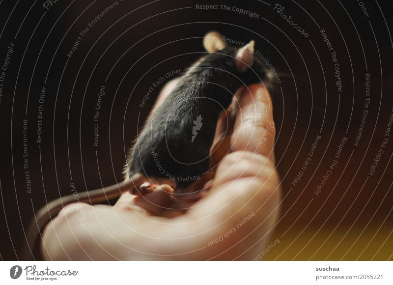 black mouse Hand Fingers To hold on Mouse Ear look Observe Rodent Mammal Black Pet Tails Neutral Background Protection Fragile timidly Diminutive Cute Sweet