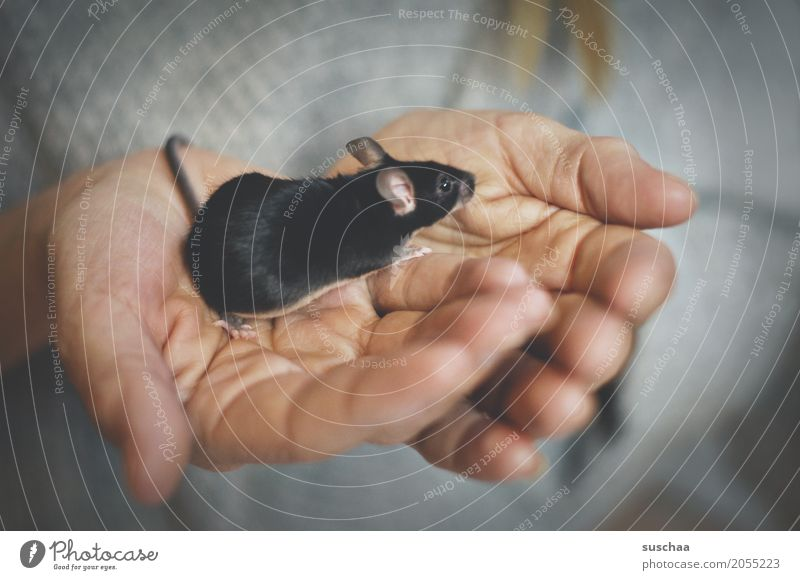 black mouse Hand Fingers Skin To hold on Mouse Rodent Mammal Black Pet Tails Pelt Protection Fragile Fear Diminutive Cute Sweet Disgust