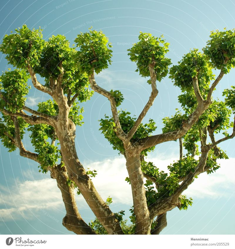 Sky Nature Blue Green Tree Summer Leaf Life Spring Growth Climate Branch Treetop Interlaced Branchage Plant