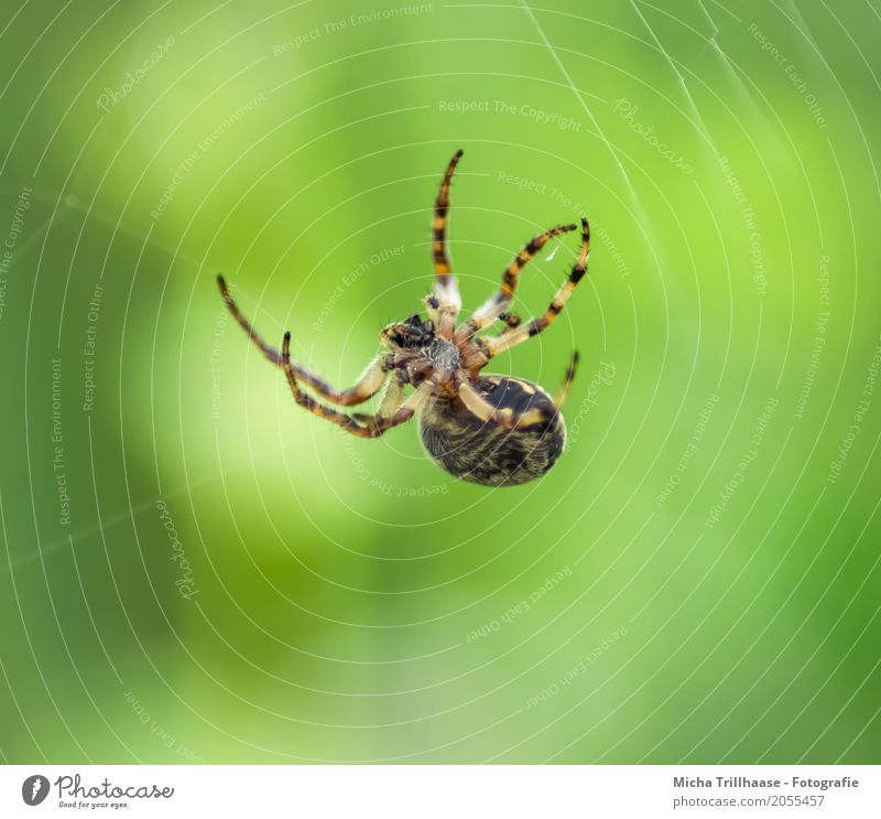 Small spider in a spider's web Environment Nature Animal Sun Sunlight Beautiful weather Wild animal Spider Animal face Legs Spider's web Spider legs Spin 1