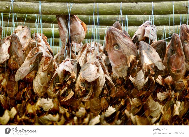 Iceland Food Fish Animal Hang Disgust Creepy Death Dry Nutrition Dried cod String Fish drying rack Colour photo Exterior shot Day Fish head Dried fish