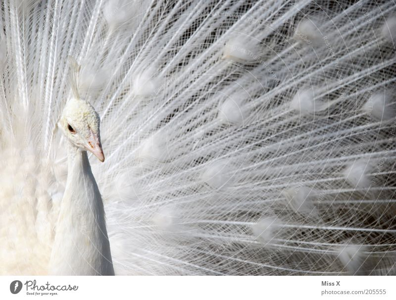 Beautiful White Animal Bird Animal face Feather Pure Exotic Pride Arrogant Peacock Rutting season Peacock feather