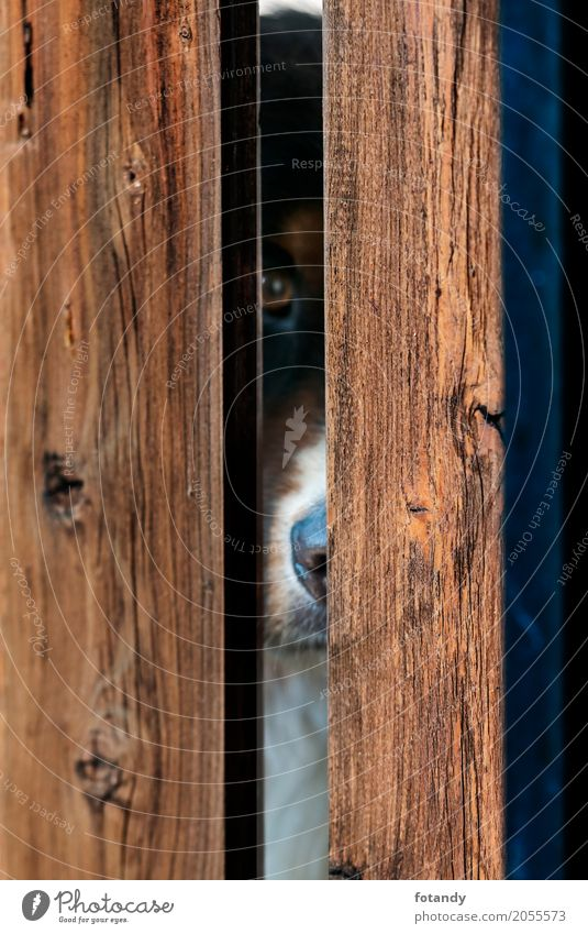 Bernese Dog behind Fence Pet Animal face 1 Wood Animal tracks Observe Looking Exceptional Brown alone boards Plank fence view locked lure Emotionally kennel
