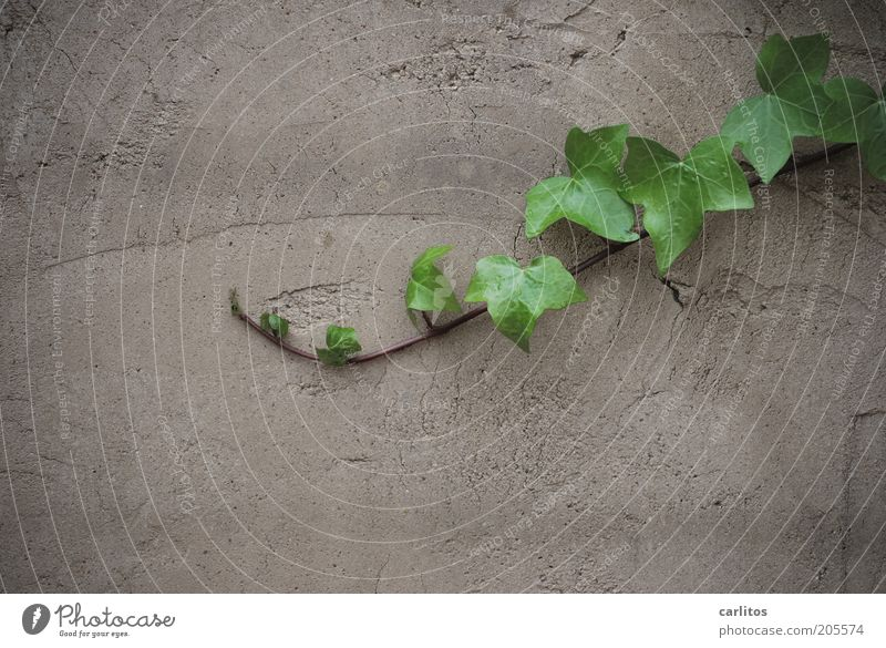 Green Plant Summer Leaf Wall (building) Gray Wall (barrier) Growth Plaster Tendril Ivy Foliage plant Disperse Rendered facade
