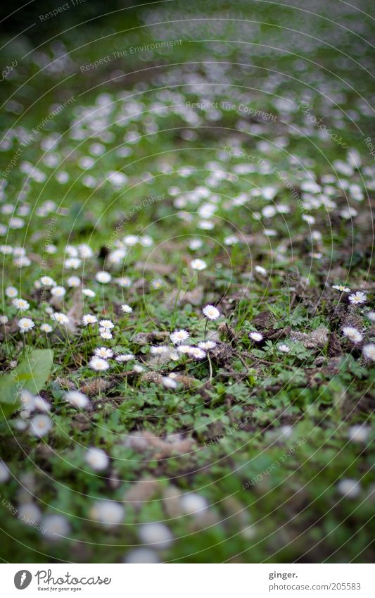 Green carpet, white spotted Nature Plant Spring Summer Flower Wild plant Meadow Growth White Daisy Many Grass Moss Ground Weed Mediocre Colour photo