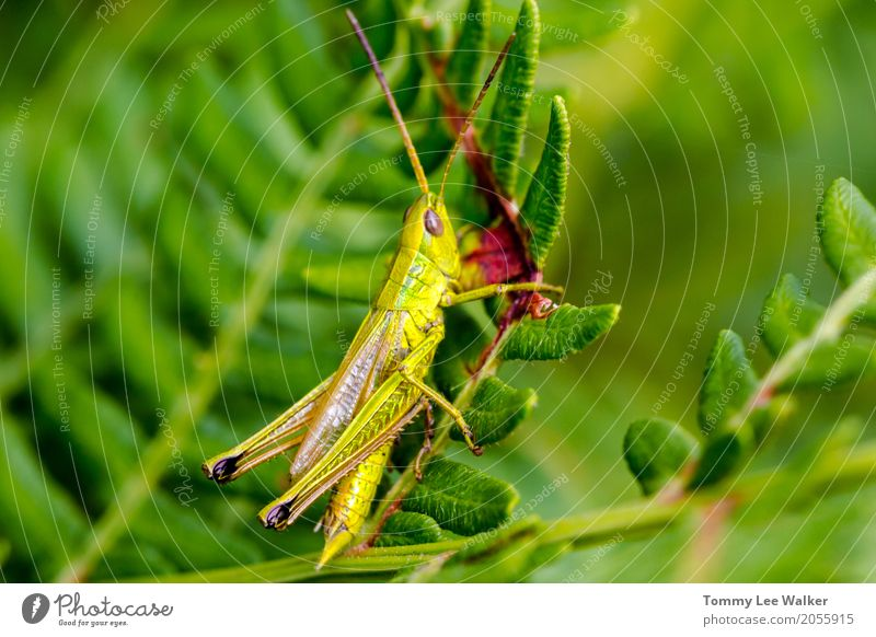 Grasshooper on fern leaf Life Freedom Garden Nature Plant Animal Park Antenna Jump Fresh Small Long Natural Green Independence grasshopper Insect grasshoper