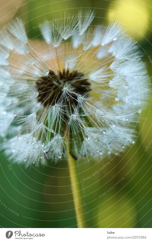 dandelion Work of art Environment Nature Plant Flower Foliage plant Wild plant Bouquet Blossoming Dew Colour photo