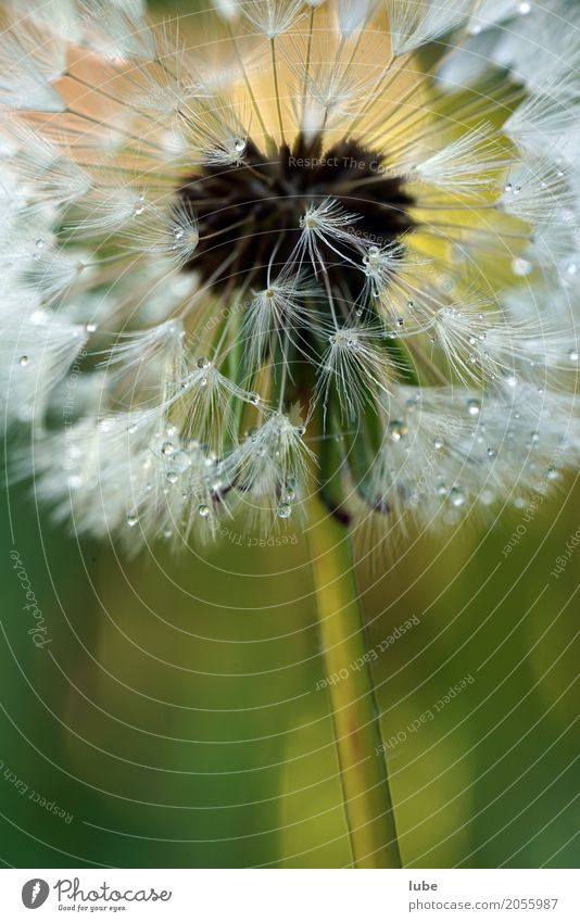 Dandelion 3 Work of art Environment Nature Landscape Plant Spring Flower Bushes Foliage plant Garden Blossoming Dew Colour photo Close-up