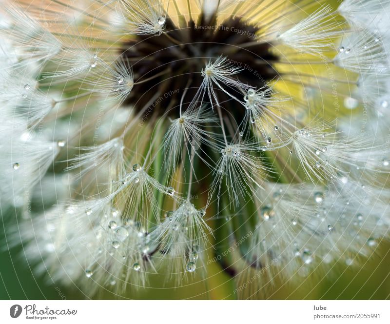 Nature Plant Flower Environment Meadow Grass Garden Bushes Drops of water Blossoming Dandelion Foliage plant Wild plant