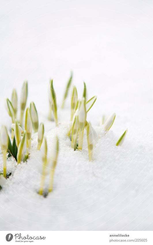 small cooling Environment Nature Plant Spring Winter Beautiful weather Ice Frost Snow Flower Blossom Snowdrop Bud Plantlet Spring snowflake
