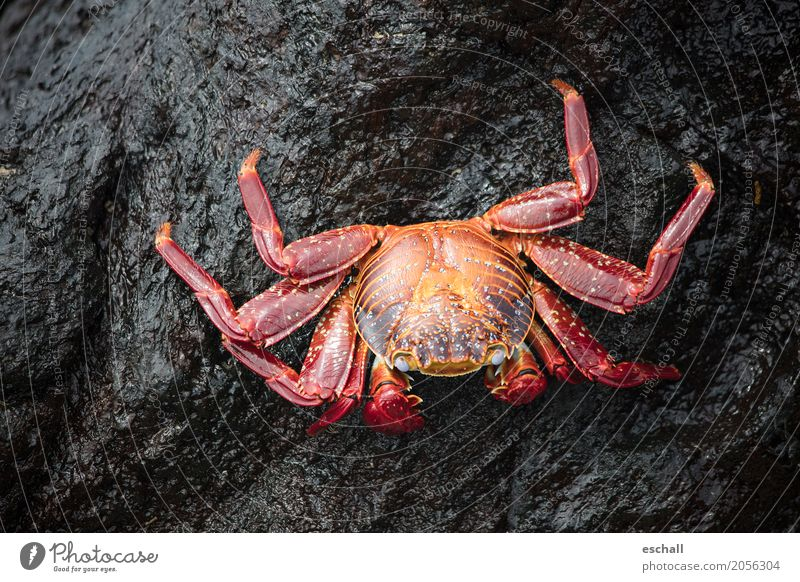 Crawling (Galapagos) Travel photography Nature Animal Water Rock Stone Wild animal Shellfish Shrimp crab Crustacean Seafood Marine animal Legs Esthetic