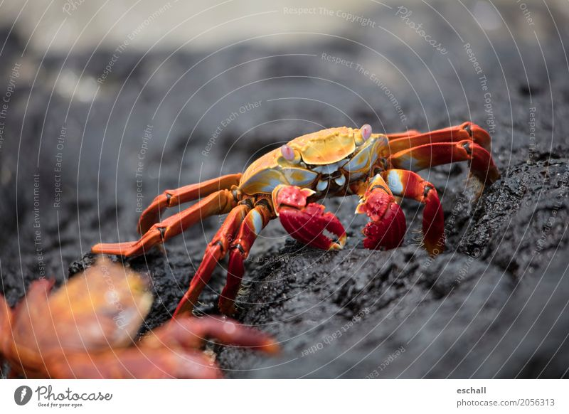 Crawling II (Galapagos) Travel photography Nature Animal Water Rock Coast Beach Ocean Wild animal Shellfish Shrimp Crustacean crab Seafood Esthetic Exceptional