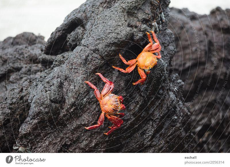 Nimble crabs (Galapagos) Nature Water Rock Stone volcanic rock Animal Wild animal Shrimp Shellfish Crustacean Marine animal Seafood Crawl Esthetic Exceptional