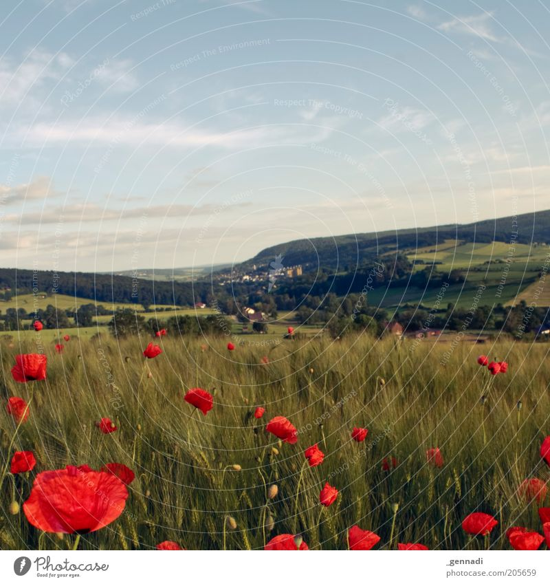idyllic Environment Nature Landscape Plant Elements Earth Air Beautiful weather Agricultural crop Wheatfield Grain Cornfield Poppy Poppy blossom Meadow Field