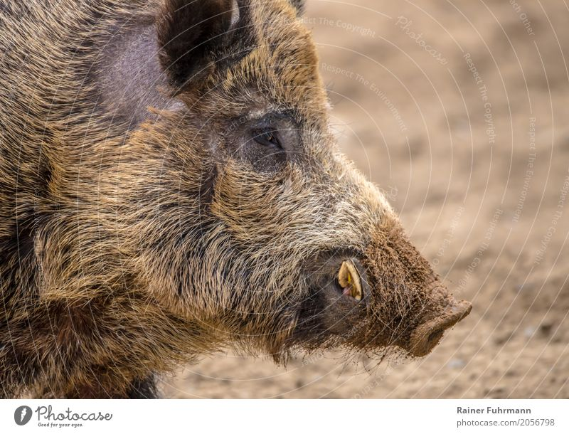 """Portrait of a wild boar Nature Animal Field Wild animal Wild boar 1 """"Hunting hunting Male boar Shoot launch Meat Game meat."""" Colour photo Close-up"""
