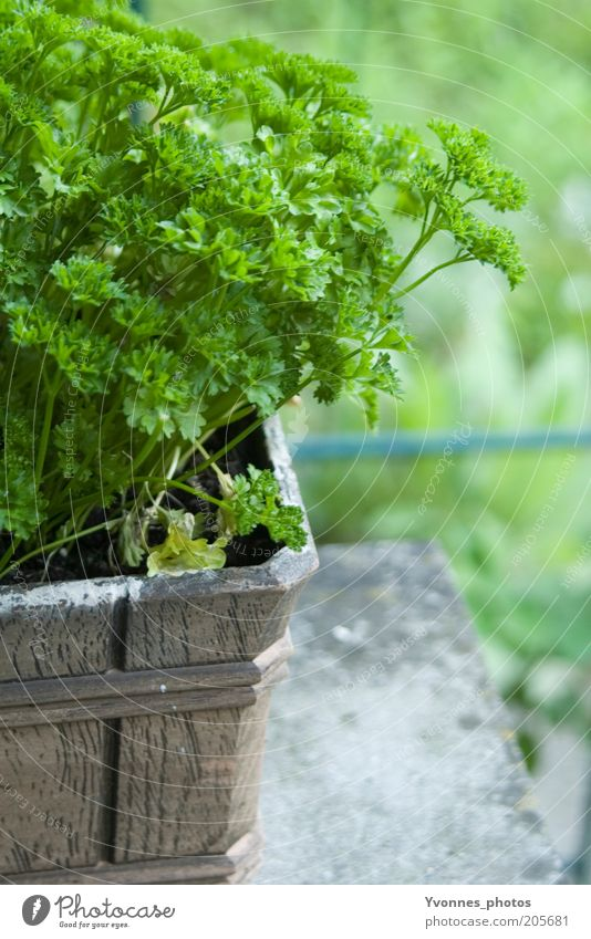 parsley Food Herbs and spices Parsley Nutrition Organic produce Vegetarian diet Environment Nature Earth Spring Summer Agricultural crop Garden Fresh Delicious