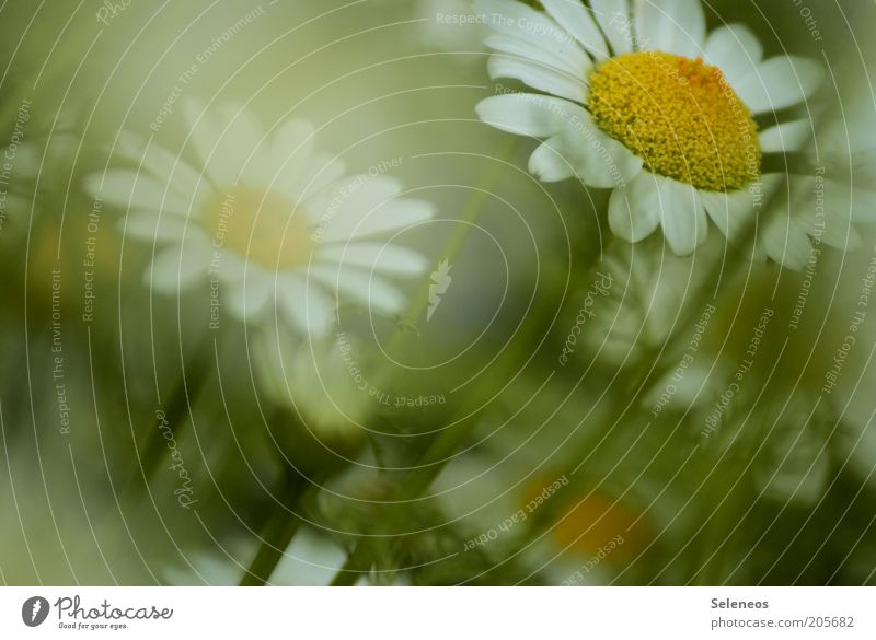 daisies Summer Environment Nature Plant Spring Flower Grass Blossom Marguerite Blossoming Esthetic Beautiful Fragrance Colour photo Exterior shot Close-up