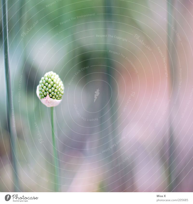 solo Nature Plant Flower Grass Blossom Loneliness Individual Bud Stalk Colour photo Subdued colour Close-up Deserted Copy Space right Copy Space top