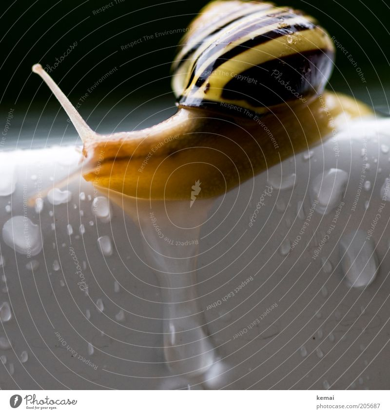 Water White Black Animal Yellow Rain Drops of water Wet Table Corner Edge Snail Feeler Crawl Slowly