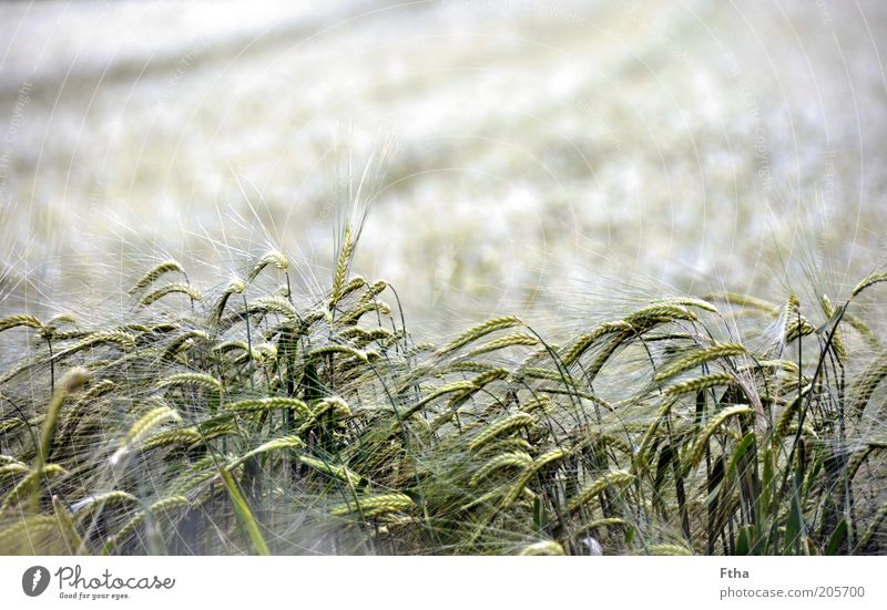 Nature White Green Plant Summer Far-off places Grass Freedom Landscape Moody Field Wind Grain Agriculture Harvest Blade of grass