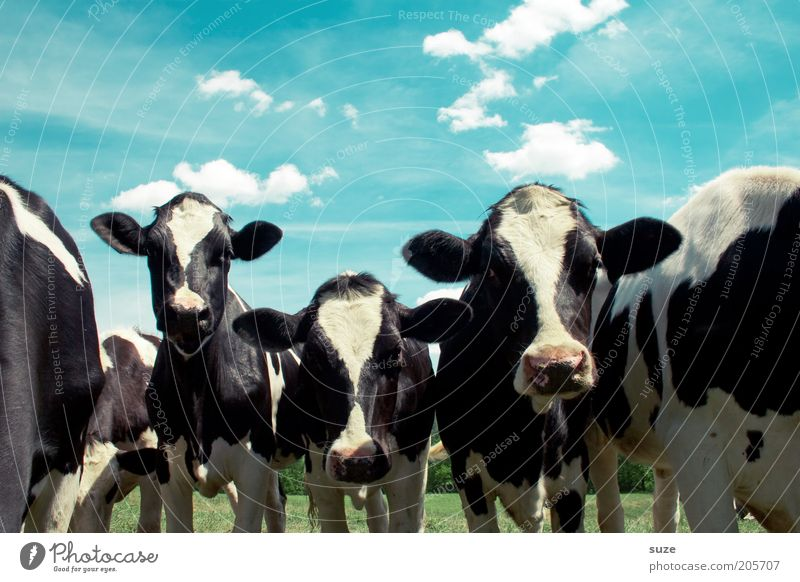 Sky Nature Summer Animal Clouds Environment Meadow Natural Group of animals Beautiful weather Animal face Pasture Cow Animalistic Organic farming Livestock breeding