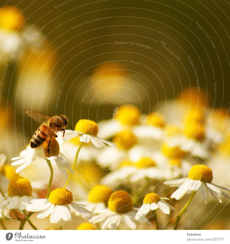 chamomile Environment Nature Plant Animal Summer Warmth Flower Blossom Farm animal Bee Wing Bright Flying Chamomile Camomile blossom Honey bee Collection