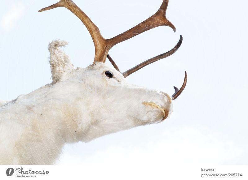 Beautiful White Animal Bright Power Near Animal face Pelt Wild animal False Antlers Pride Deer Placed Deer head