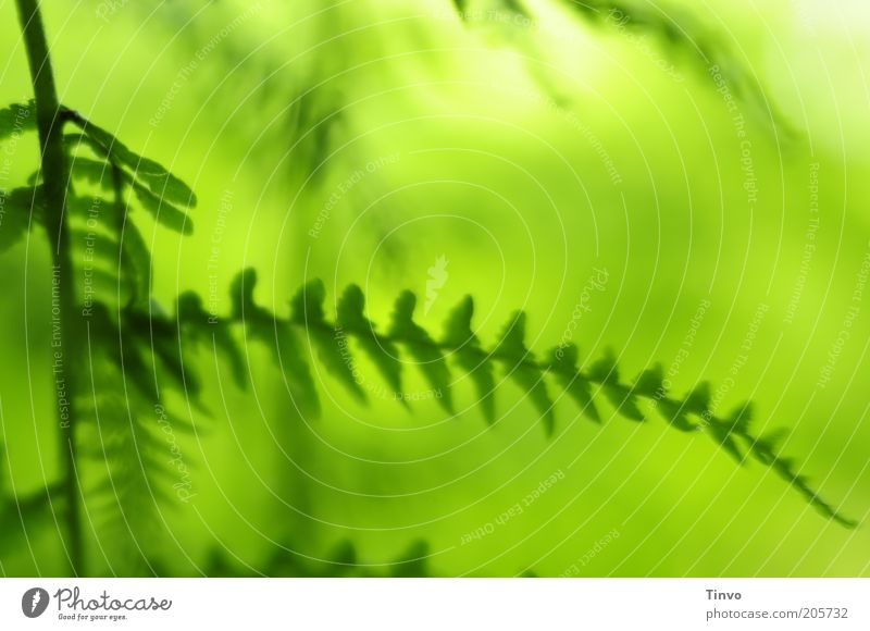 To the Green Fa(h)rn Nature Plant Spring Summer Beautiful weather Fern Fresh Leaf Colour photo Close-up Pattern Deserted Copy Space top Light Contrast