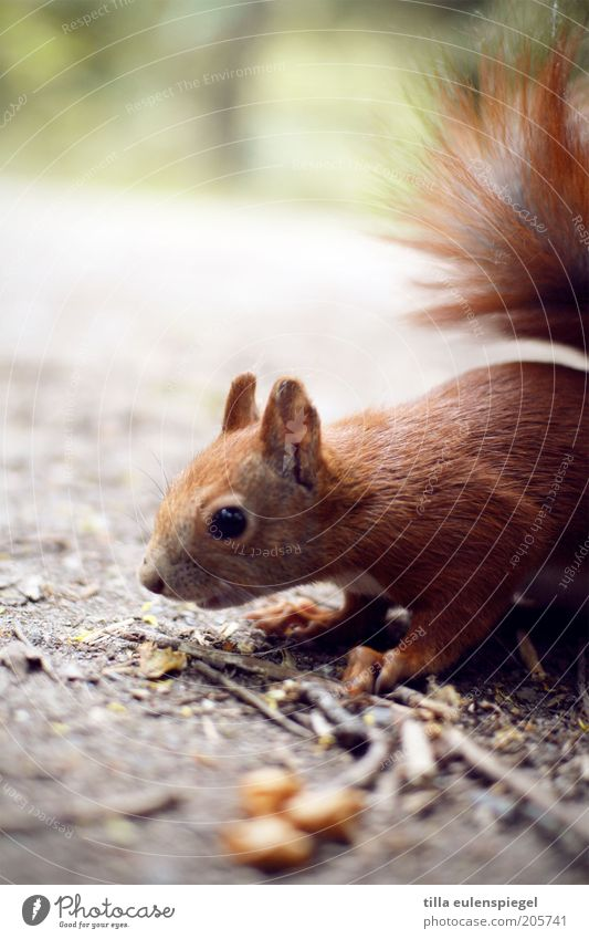 Nature Animal Brown Search Wild Natural Curiosity Wild animal Cute Collection Interest Caution Frightening Squirrel Foraging Nutrition