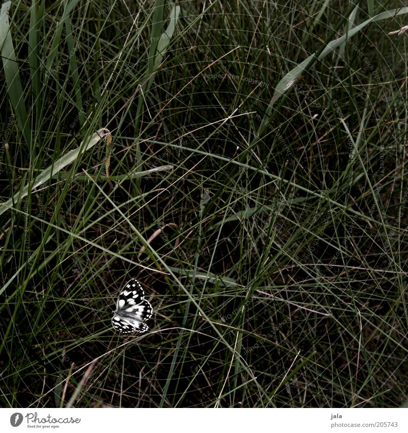 butterfly Nature Grass Meadow Butterfly Insect 1 Animal Esthetic Beautiful Green Black White Deserted Day