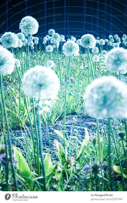 Nature White Flower Green Blue Plant Colour Blossom Garden Park Esthetic Cool (slang) Sphere Stalk Dandelion Elements
