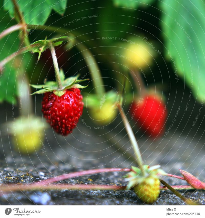 berry Food Fruit Nutrition Environment Nature Summer Plant Bushes Wild plant Growth Healthy Small Delicious Strawberry Wild strawberry Mature Colour photo