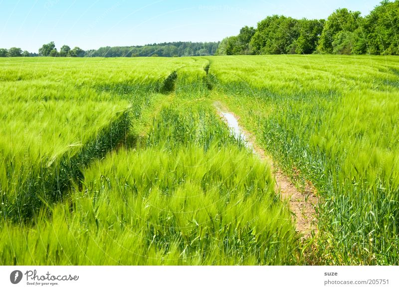 in the green Grain Organic produce Environment Nature Landscape Plant Elements Earth Air Sky Cloudless sky Summer Climate Beautiful weather Bushes