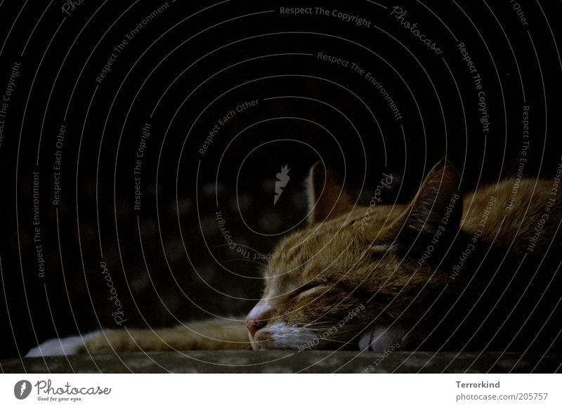 Calm Dark Wait Sleep Animal face Pelt Cat To enjoy Safety (feeling of) Pet Well-being Exhaustion Domestic cat Affection