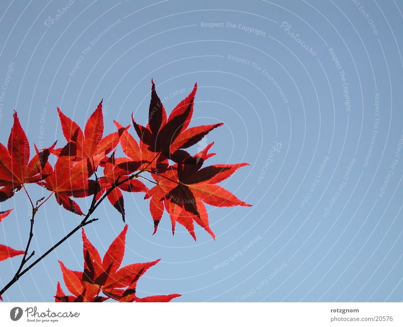 Nature Sky Leaf Maple tree