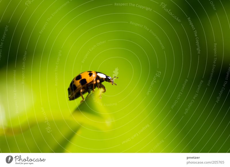 outlook Environment Nature Climate Beautiful weather Plant Leaf Foliage plant Animal Wild animal Beetle Animal face Ladybird Fragrance Crouch Crawl Free