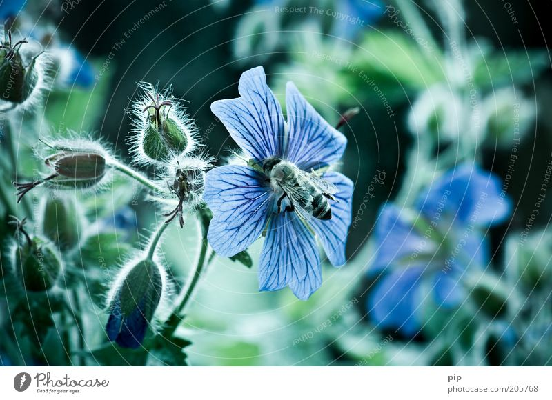 bee or not to be Environment Nature Plant Flower storchenschnabel Bee Cold Blue Green Honey bee Insect Wing Diligent Blossom Sweet Nectar Colour photo