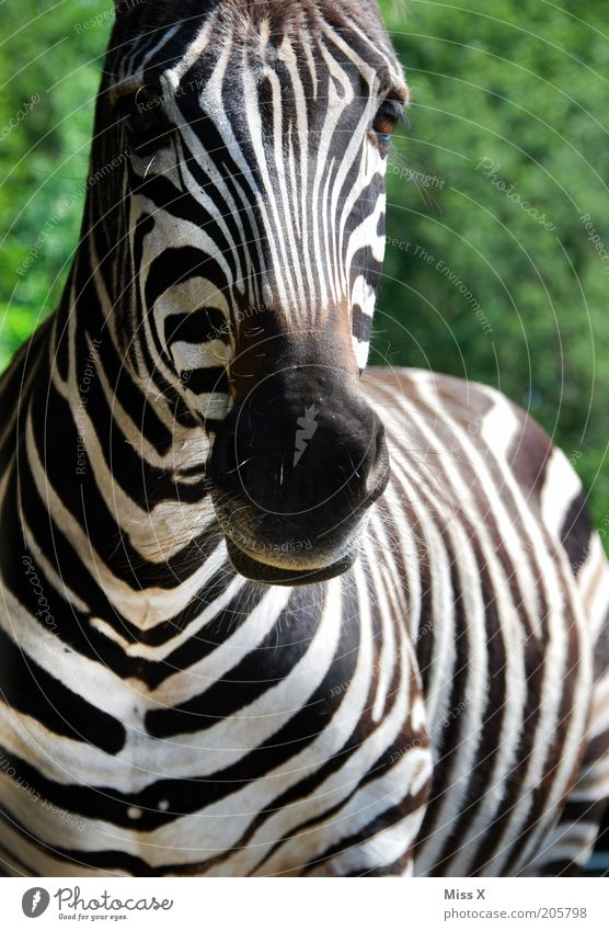 How's the zebra doing? Trip Safari Animal Wild animal Zoo 1 Black White Smooth Striped Zebra Even-toed ungulate Nostrils African Colour photo Exterior shot
