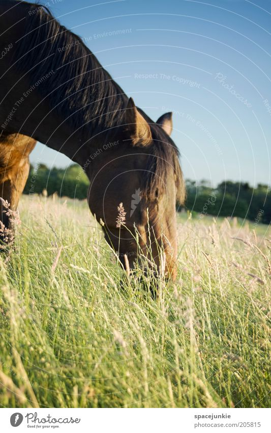 Nature Sky Animal Meadow Grass Gray Landscape Power Field Elegant Horse Blade of grass To feed Ride Mane Love of animals