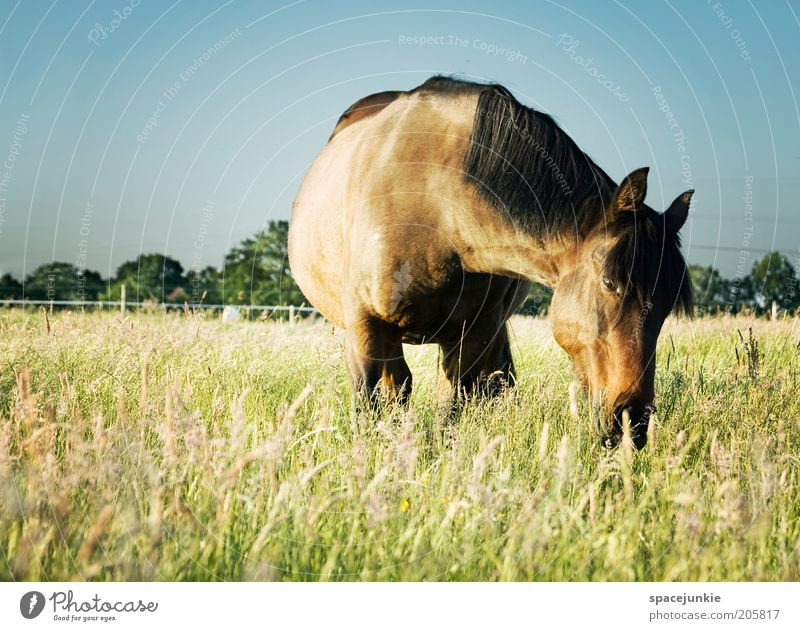Nature Blue Animal Meadow Grass Happy Landscape Contentment Brown Glittering Horse Animal face Observe Pasture To feed Mane