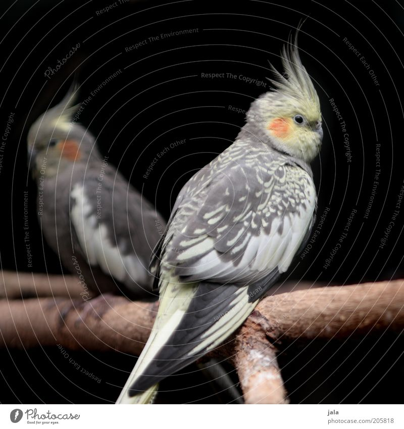 Nature Beautiful White Black Animal Yellow Hair and hairstyles Gray Together Bird Pair of animals Sit Branch Natural Twig Parrots