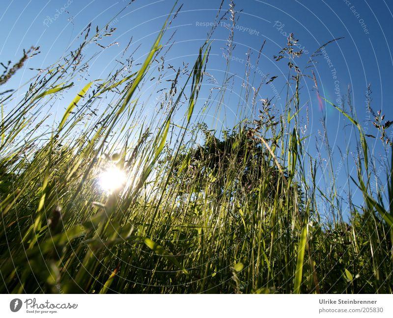 Nature Sun Green Summer Relaxation Meadow Grass Lighting Tall Lawn Long Upward Blade of grass Sunset Evening sun Summer evening