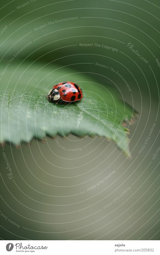 asia (FR 6/10) Nature Animal Leaf Beetle Ladybird Asian ladybird Green Red Portrait format Good luck charm Colour photo Exterior shot Deserted Copy Space bottom