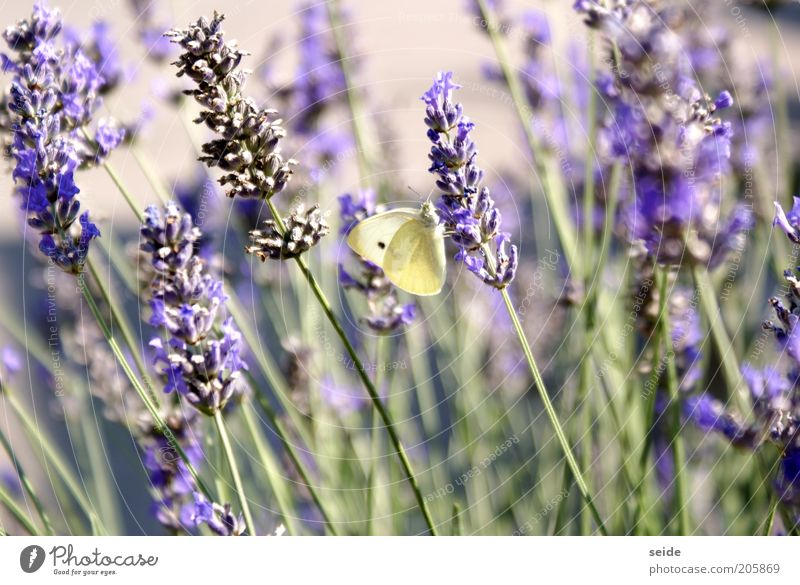 Caught Nature Spring Lavender Butterfly Elegant Beautiful Small Natural Green Violet Serene Purity Loneliness Nectar Fragrance Brimestone Deserted