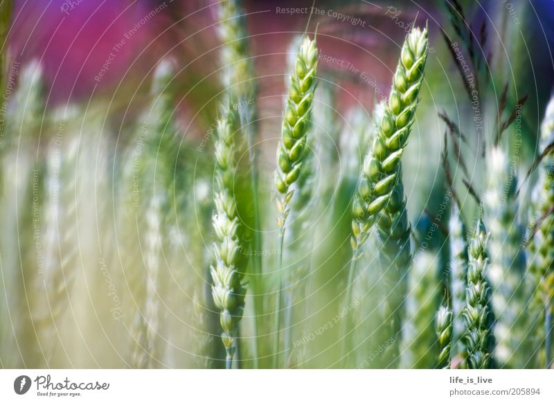 a touch of nature Calm Environment Nature Summer Wheat ear Field Growth Beautiful Inspiration Joie de vivre (Vitality) Exterior shot Detail Agriculture Green