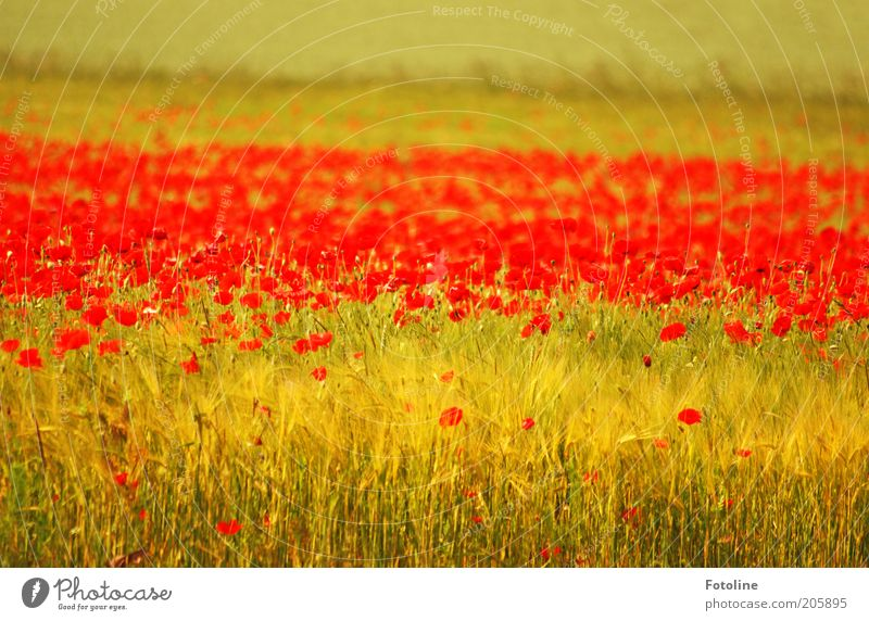 Nature Flower Plant Red Summer Blossom Warmth Landscape Bright Field Environment Natural Grain Poppy Cornfield Meadow