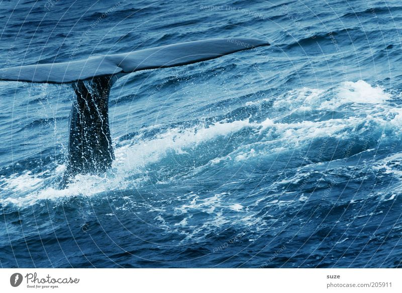 whale Vacation & Travel Tourism Trip Adventure Freedom Expedition Ocean Waves Dive 1 Human being Environment Nature Animal Climate Wild animal Observe