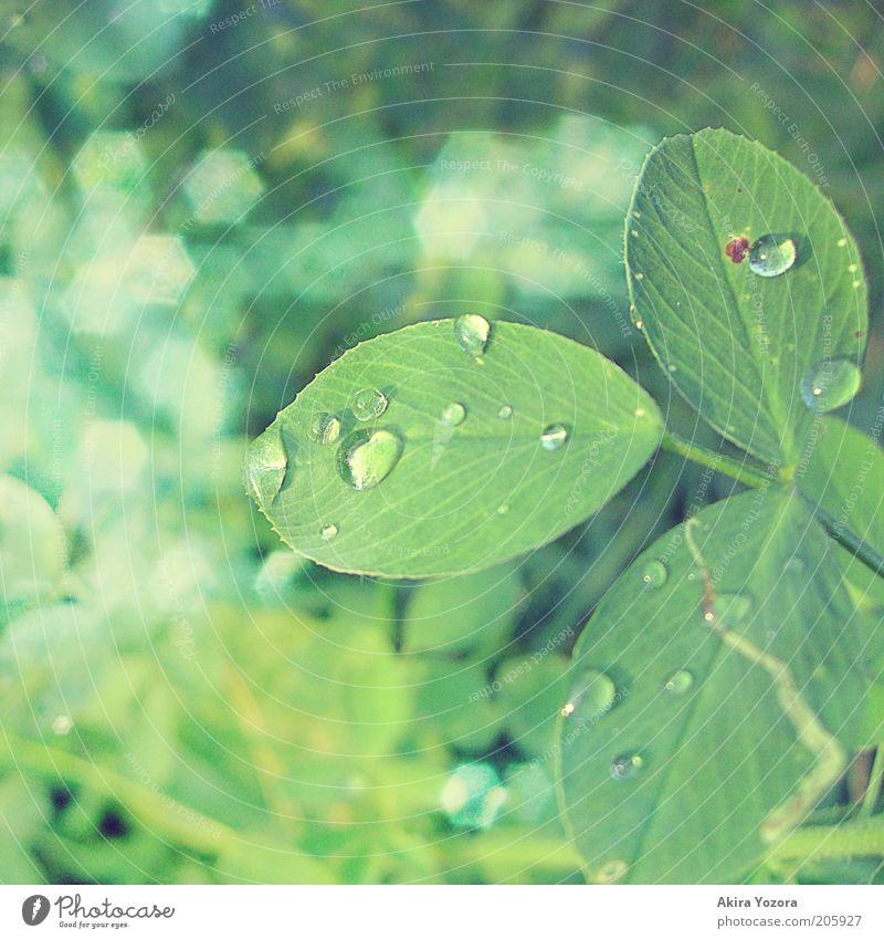 [50] Glittering Fortune Leaf Clover Cloverleaf Illuminate Fresh Green Happy Nature Drop Colour photo Exterior shot Close-up Detail Deserted Day Light Blur